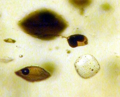 Разнотипные расплавные включения, захваченные одним кристаллом оливина.