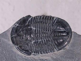 Останки трилобита Asaphiscus wheeleri. Фото пользователя DanielCD с wikipedia.org